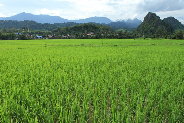 Rice field in Nan, Thailand. Image courtesy of the Tourism Authority of Thailand.