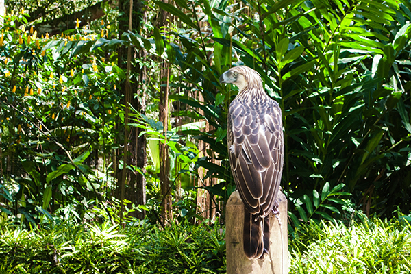 Philippine Eagle in its namesake Center