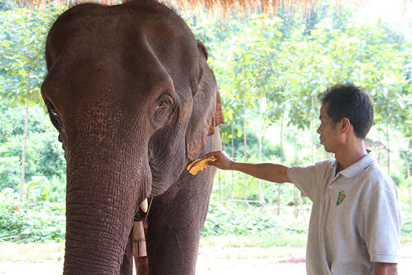 Elephant getting some much needed TLC at Green Hill Valley Elephant Camp, Myanmar