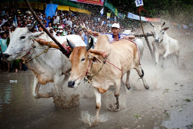 No small matter, the Ox race festival