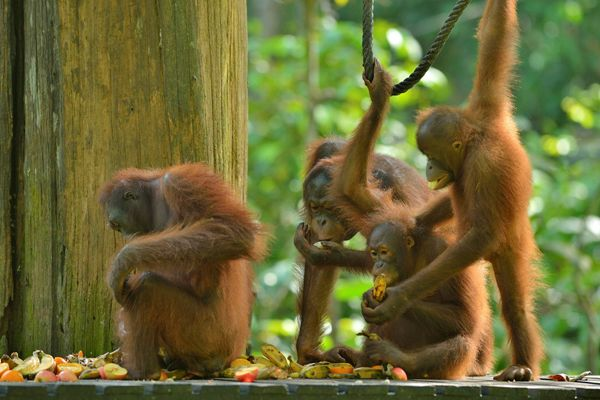 Orangutans in Sepilok. Image courtesy of Tourism Malaysia, used with permission.