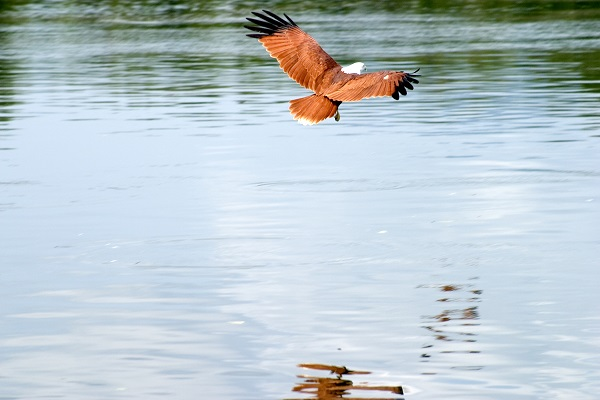 Eagle flying over water in Langkawi Island, Malaysia