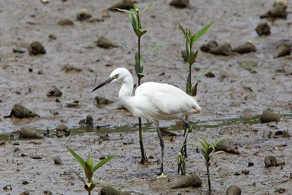 Juvenile egret in Sungei Buloh Wetland Reserve, Singapore