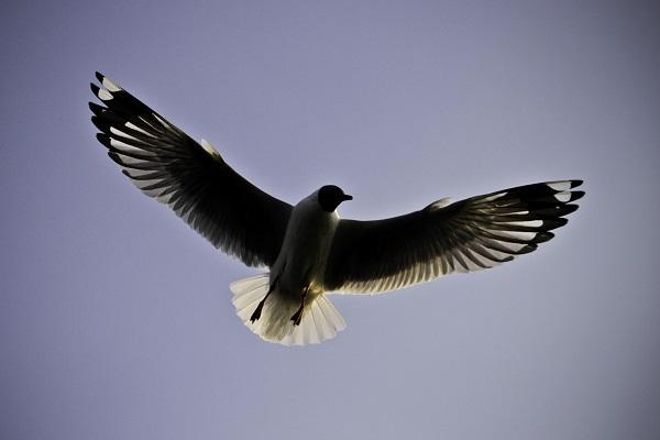 Inle Seagull at Inle Lake, Myanmar