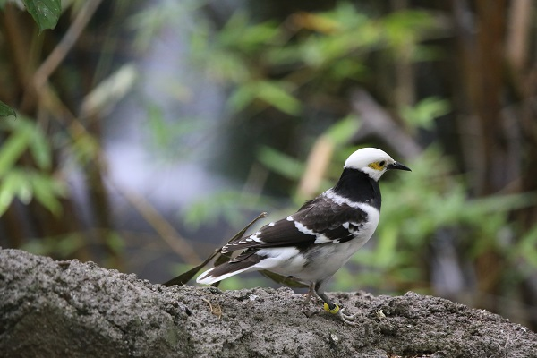 Black-collared starling native to Brunei